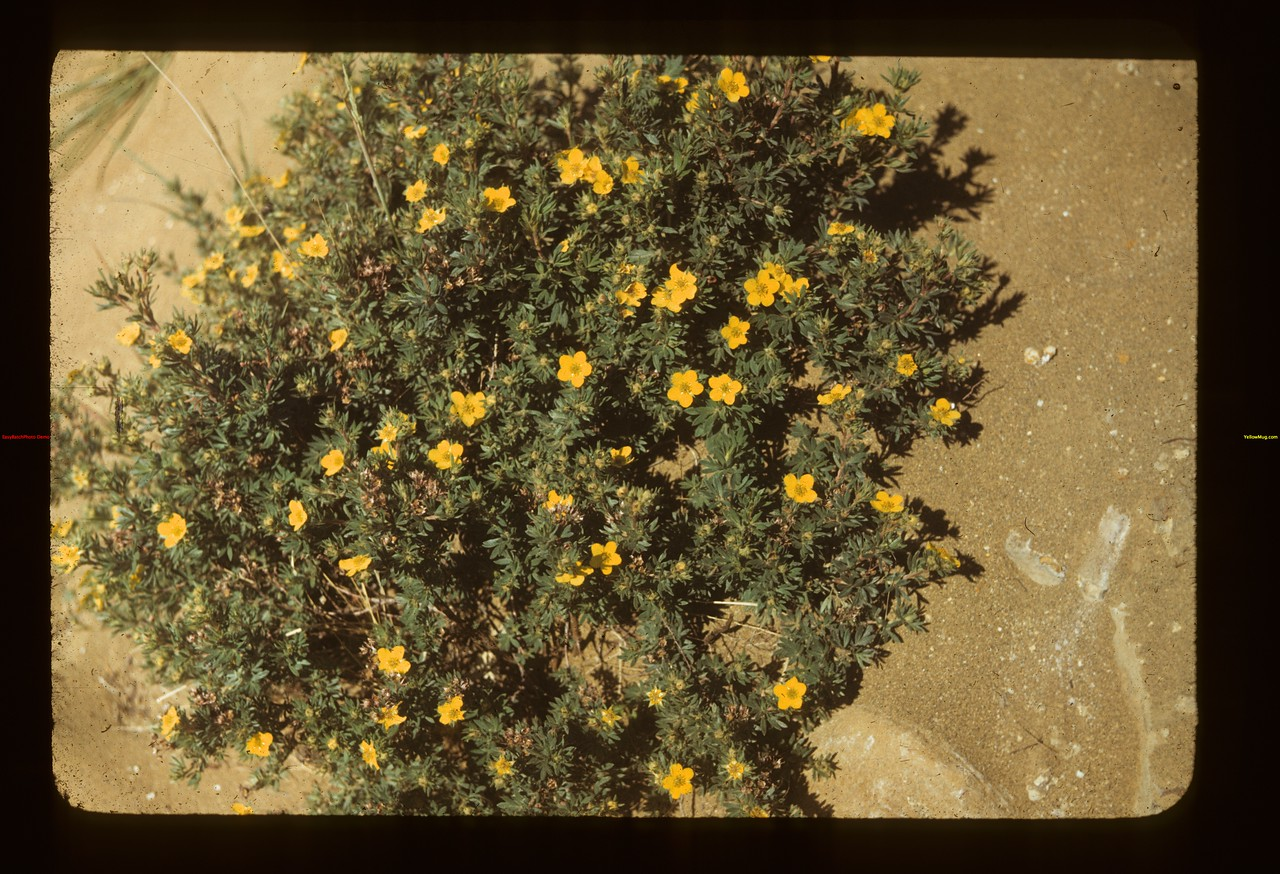 Shrubby cinegufoil. N of E.	 Eastend	 06/23/1949