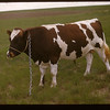 Irwin Studers Pure-Bred  Ayrshire Bull Pelletier 06/20/1947