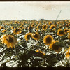 Tommy Jackson's 140 acres of Sunflowers	 Indian Head	 08/21/1943