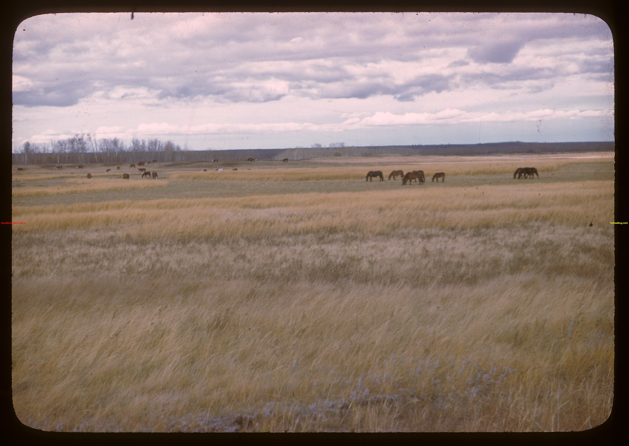 Cattle and horses Onion Lake Indian Reservation.  Onion Lake.  10/08/1946