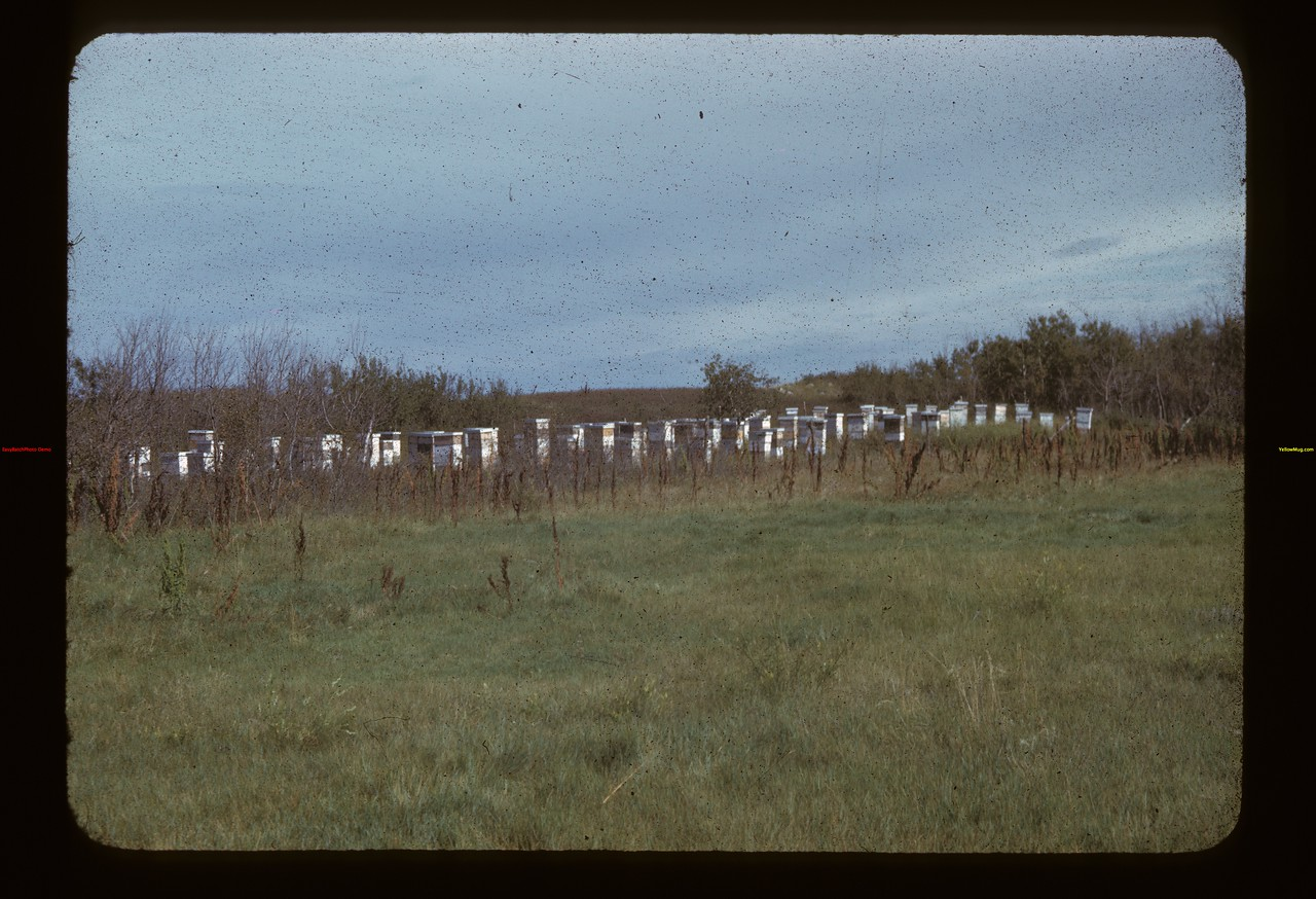 25% of Hand's 400 colonies of bees located between Kelvington and Forget and producing 80000 pounds of honey in 1941. Forget 09/13/1942