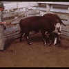 Bill Cutt Livestock Pool salesman and hereford steers..  Prince Albert.  05/30/1944