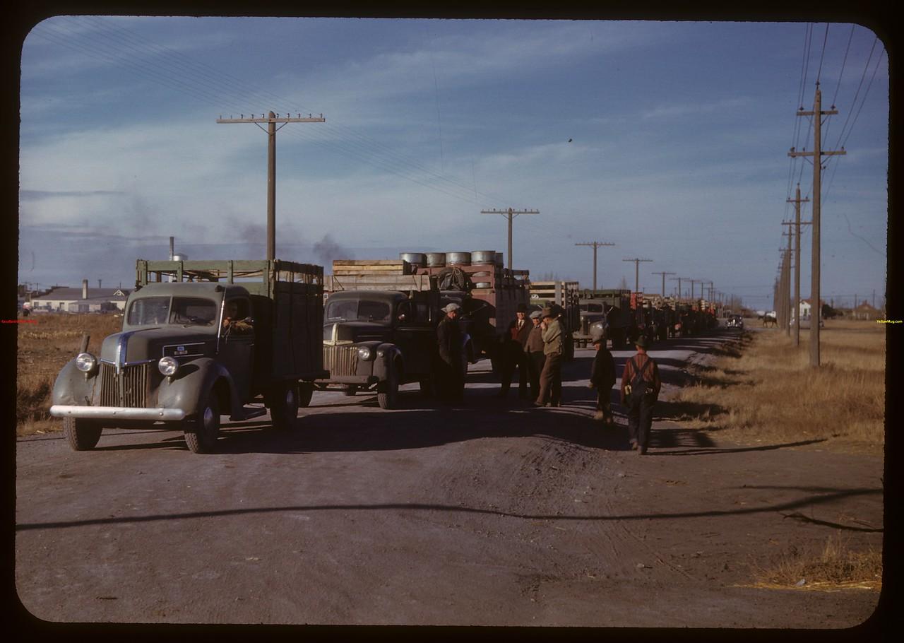 Yards full and 37 trucks waiting in line at Regina Co-op stock yards..  Regina.  10/27/1947