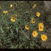 Manitoba wild sunflowers MacNutt 09/02/1949
