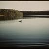 Loon guarding young - Heart Lake.  Waskesiu.  06/18/1946