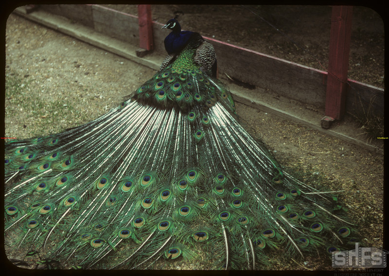 Peacock - Moose Jaw Wild Animal Park.	 Moose Jaw	 05/28/1949