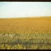 D. J. McCuaig's flax. Eastend 08/28/1942