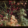Low Bush Cranberries. Raspberry Bushes	 Loon Lake	 08/27/1944