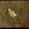 Wild ducks nest Matador C. F. Matador 05/15/1948