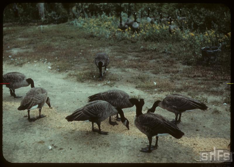 Wild geese - Moose Jaw Wild Animal Park. Moose Jaw 08/31/1942