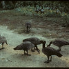 Wild geese - Moose Jaw Wild Animal Park.	 Moose Jaw	 08/31/1942