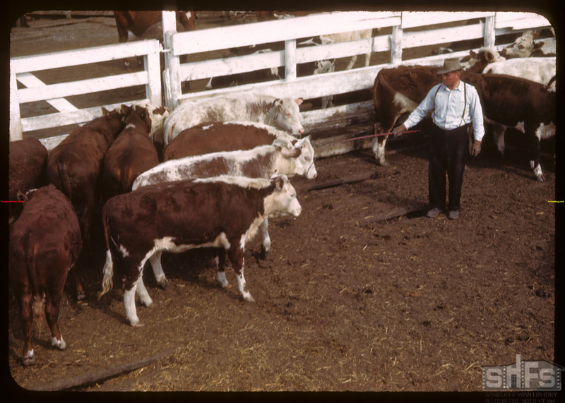 Cattle coming into stock yards..  Prince Albert.  05/30/1944