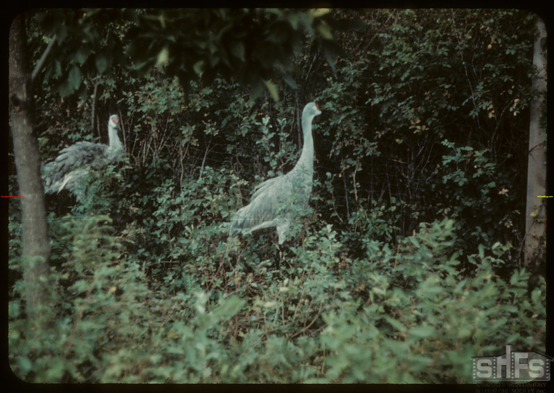 Sand Hill Cranes - Moose Jaw Wild Animal Park. Moose Jaw 09/06/1942