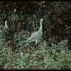 Sand Hill Cranes - Moose Jaw Wild Animal Park.	 Moose Jaw	 09/06/1942