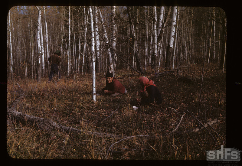 Picking low bush cranberries. Loon Lake.  10/03/1947