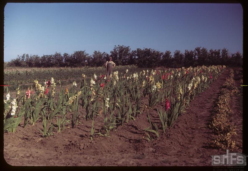 Elcid Dumont and Gladiolas - dry summer of 1948..  Ponteix.  08/11/1949