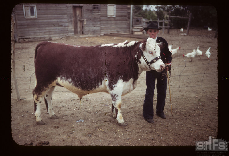 Gordon Cowie with calf at McTaggart's Calf Club Show	 Ferland	 06/17/1949