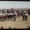 Lining up calves at show and sale. Aneroid. 06/08/1949