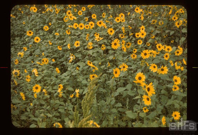 Wild sunflower Girvin 08/24/1943