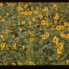 Wild sunflower	 Girvin	 08/24/1943