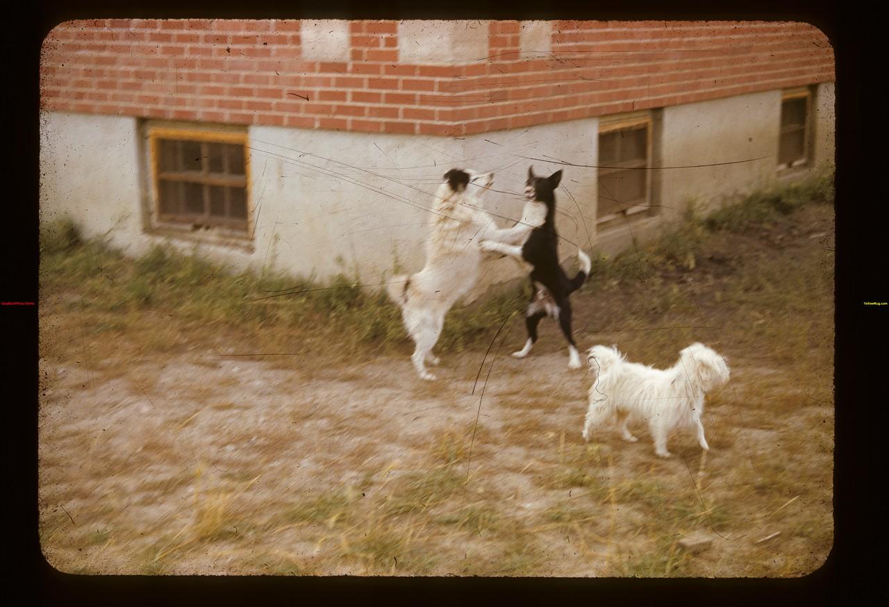 Dogs playing near school Eastend 09/10/1941