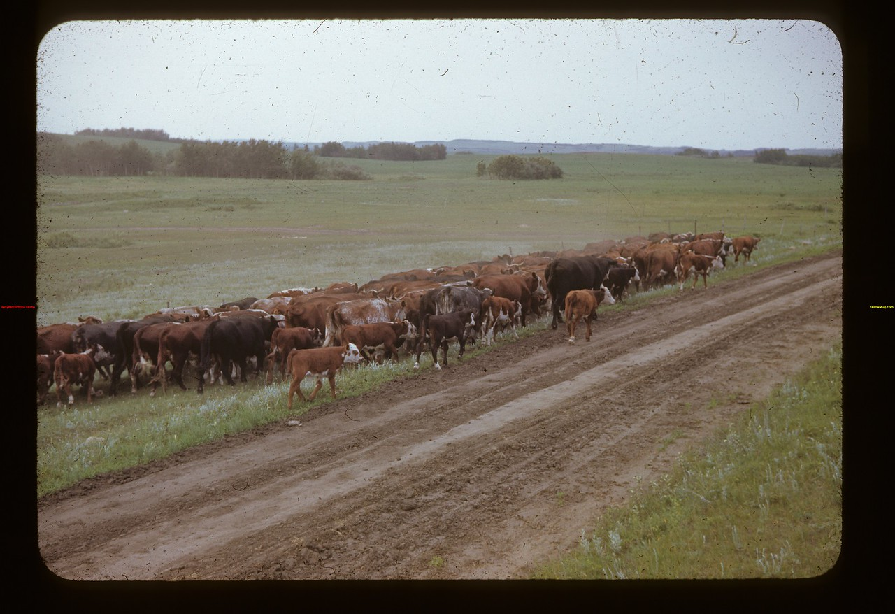 Beginning the round-up Nelson Bros. Rex	 Lloydminster	 07/05/1942