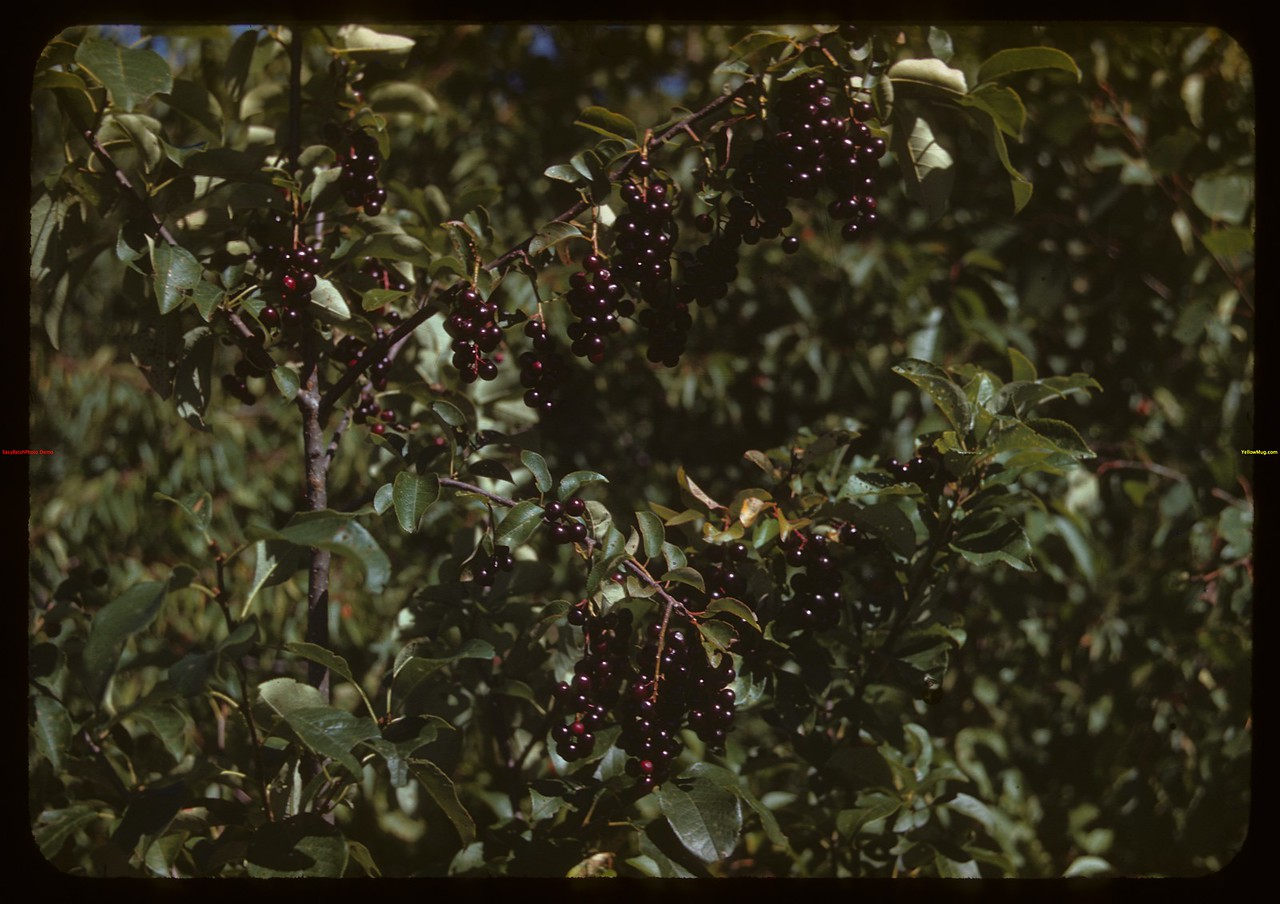 Chokecherries in the sun..  Prongua.  08/11/1944