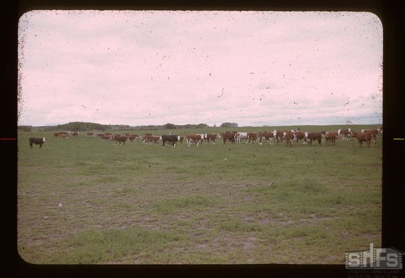 Alex Mitchell steers. North of Lloy.	 Lloydminster	 06/19/1941