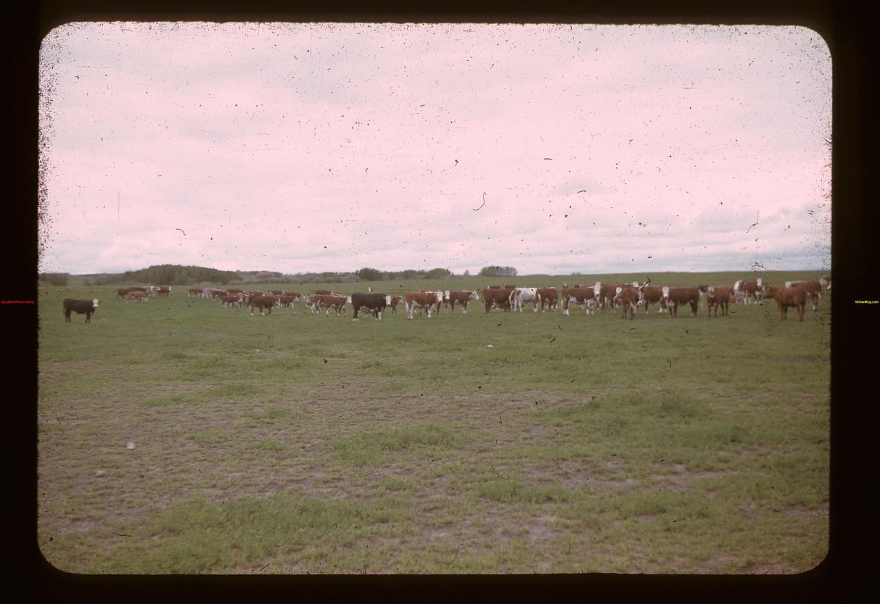 Alex Mitchell steers. North of Lloy. Lloydminster 06/19/1941