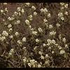 Saskatoon blossoms. Cavalier 06/05/1943