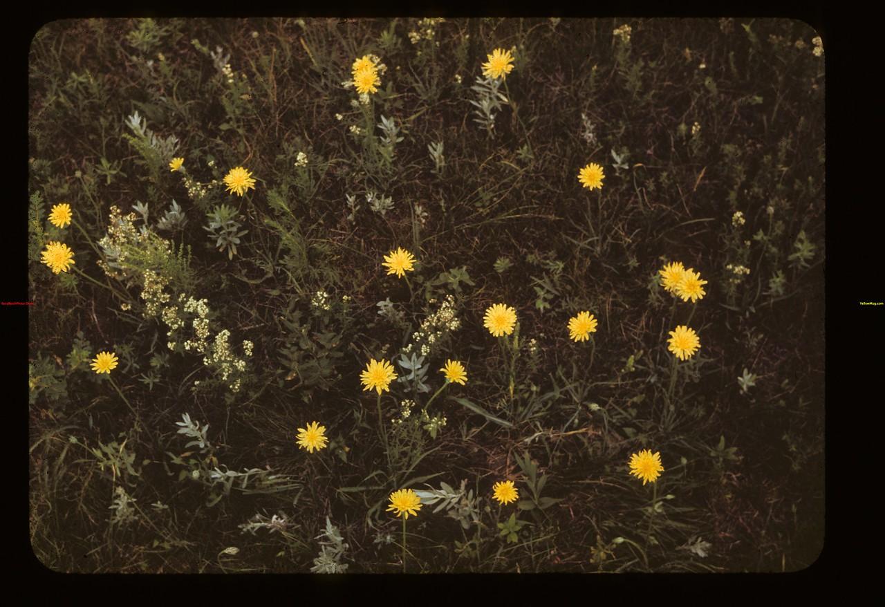 Agoseris. False 4 Rosesandelion. Bed Straw Lloydminster 07/04/1942