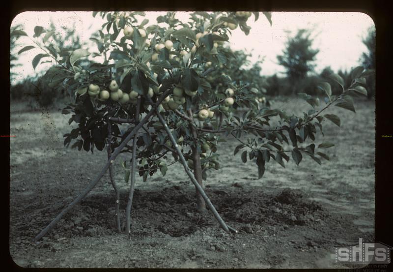 "Mental hospital ""Irrigation"" apples. Battleford 08/17/1944"