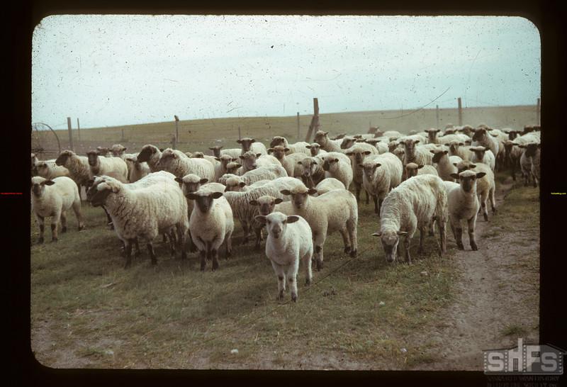 Bill Simpson's sheep Gainsborough 09/11/1942