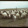 Bill Simpson's sheep	 Gainsborough	 09/11/1942