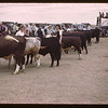 Judge Orr placing winners - Baby Beef Club Show.	 Mankota	 06/05/1946