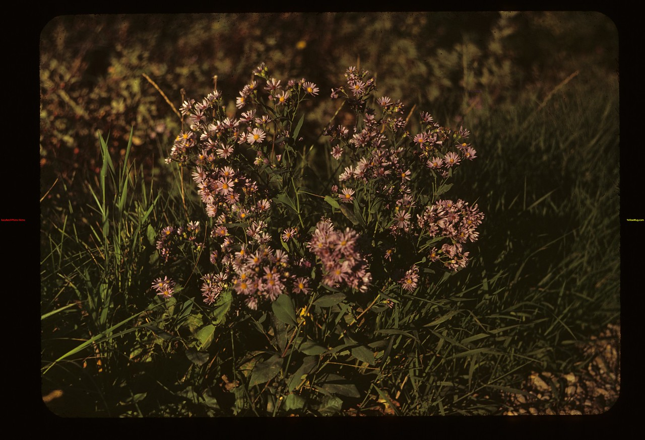 In sitting Sun. Wild Asters (Blue)	 Kamsack	 09/13/1949