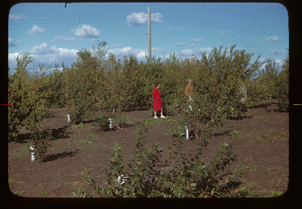 Wilson Parker and the Jack MacPhail's - orchard of Dominion Experimental Station Melfort 09/28/1946