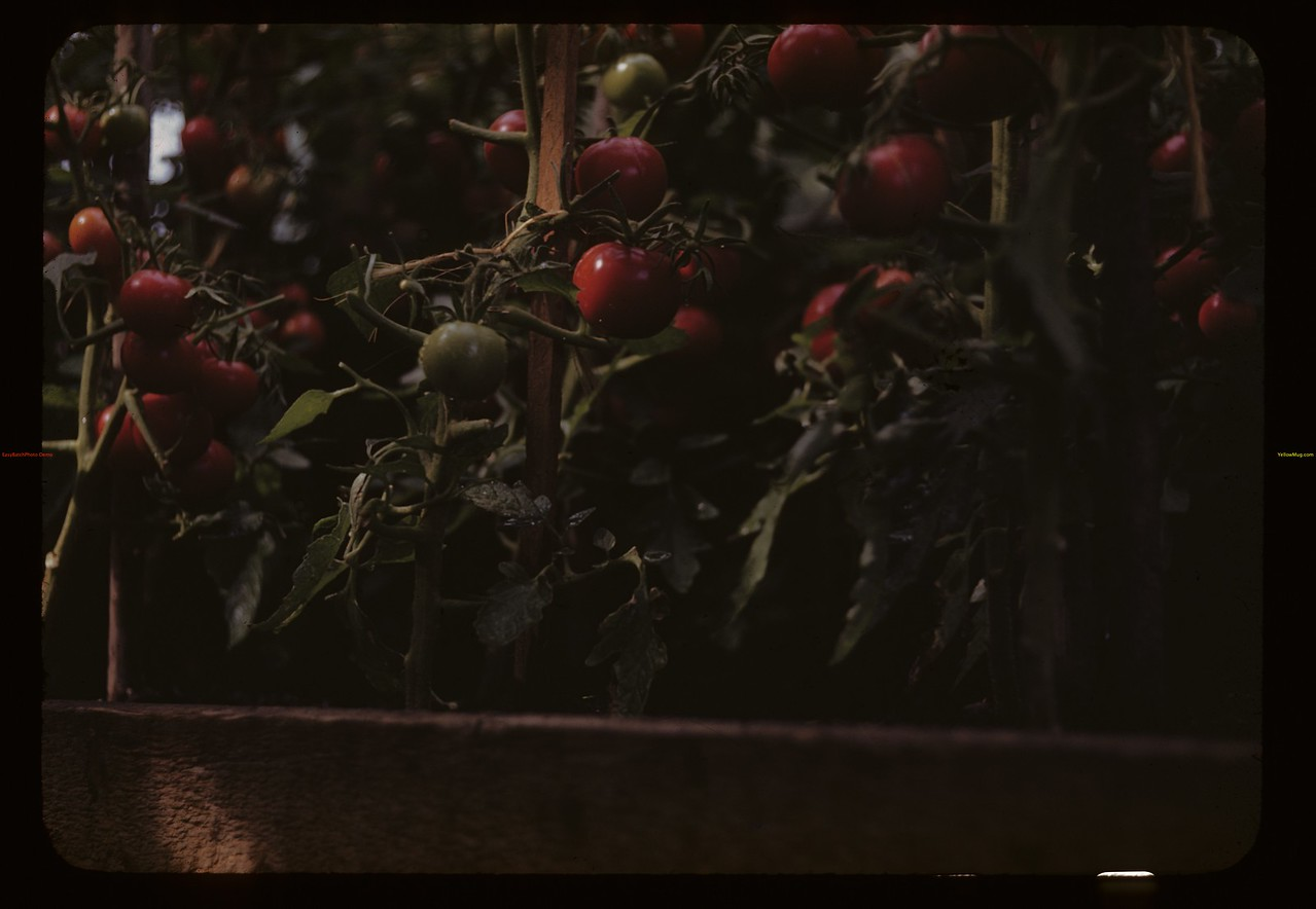 Charles Hare's greenhouse tomatoes.	 Bapaume	 07/30/1944