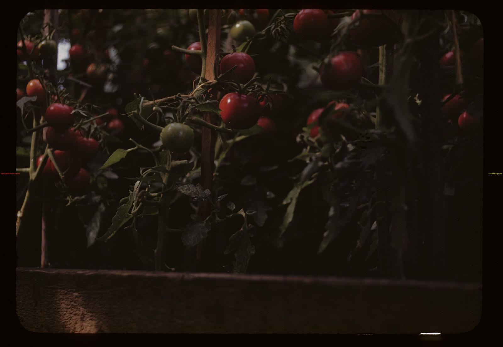 Charles Hare's greenhouse tomatoes. Bapaume 07/30/1944