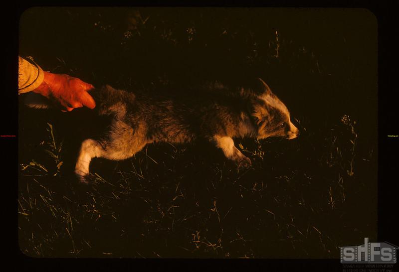 Rene Poirier holding fox pup. Gravelbourg 06/11/1947