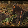 William Stroman and prize turnips	 Four Corners	 10/01/1948