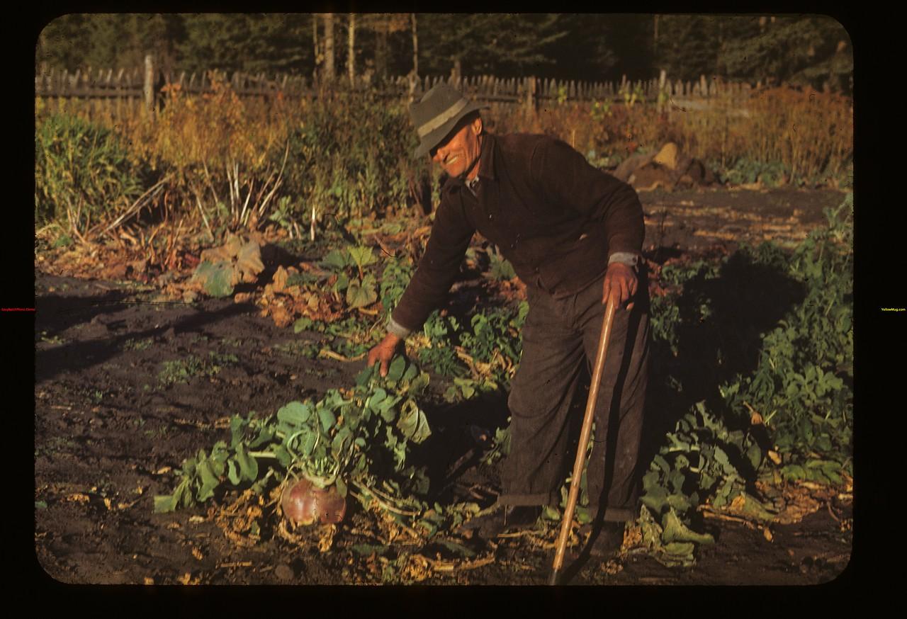 William Stroman and prize turnips Four Corners 10/01/1948