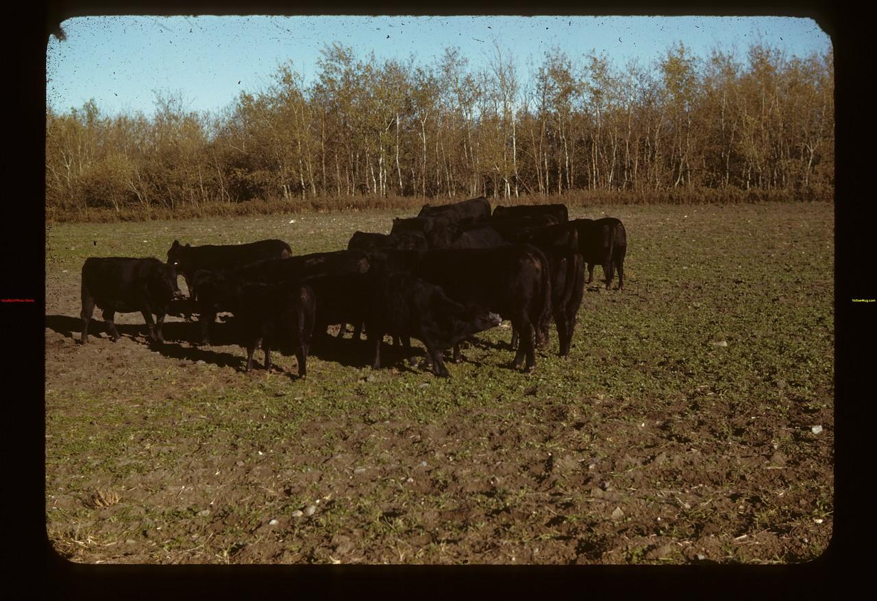 Harry Morrell' cattle - Pres. Sask. P.A. assn.- Prince Albert 09/28/1942