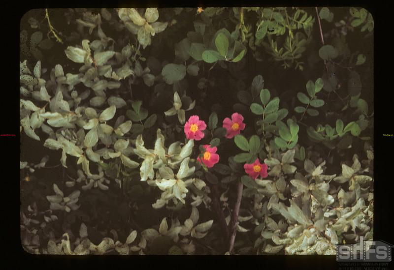 4 Roses Lloydminster 07/04/1942