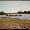 Horses cool off in the summer heat..  Norquay.  09/01/1946