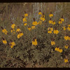 Cone Flowers - 12 miles east of North Battleford.  North Battleford.  08/07/1942