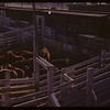 Cattle - south end Livestock Pool stock yards.  Regina.  10/22/1946