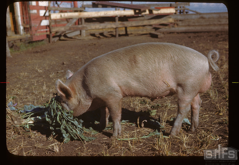 Paddockwood Kawanis Special boar at Dominion Experimental Farm - Chas. Harlton of Belle Plain and Harry Hooper of Tisdale breeders of this hog's parents. Melfort 09/28/1946