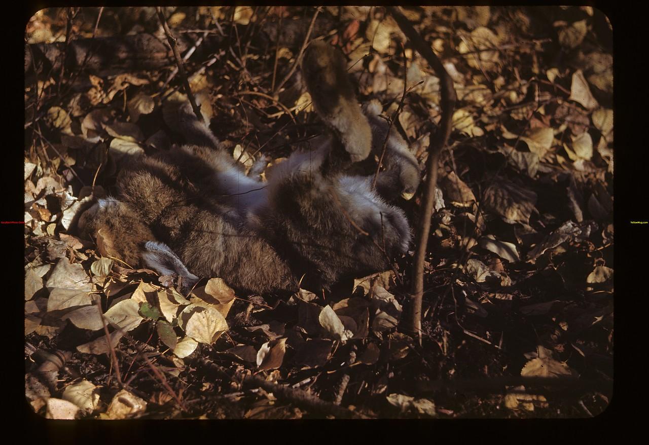 Indian Snared Rabbit near Big Narrows Trail Loon Lake 10/02/1948
