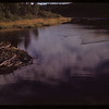 Beavers swimming towards lodge	 Cypress Hills	 08/27/1948